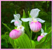 Lady Slipper-1 With Border
