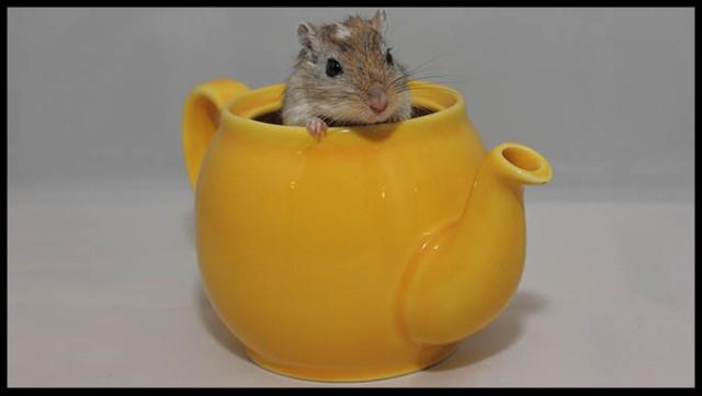 Gerbil teapot
