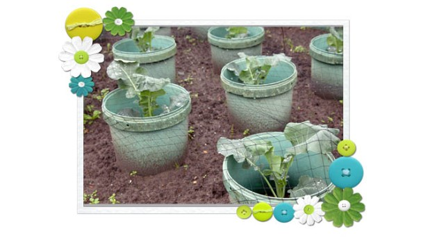 Young Cabbage Plants In Buckets